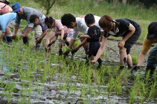 Learning by experience:rice planting