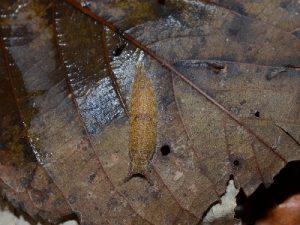 ゴマダラチョウの越冬幼虫