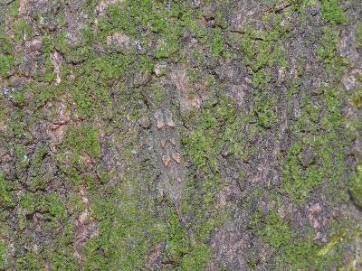 アカボシゴマダラの越冬幼虫