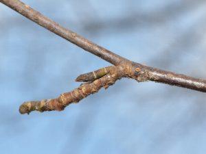 オオアヤシャクの越冬幼虫