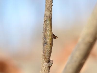 コミミズクの幼虫
