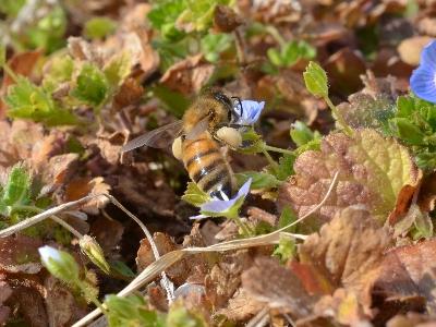 セイヨウミツバチ(オオイヌノフグリ)