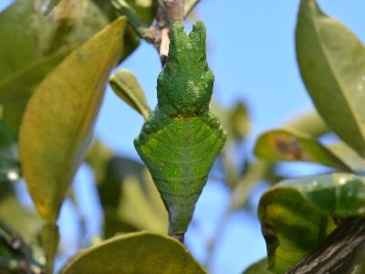 ナガサキアゲハの蛹