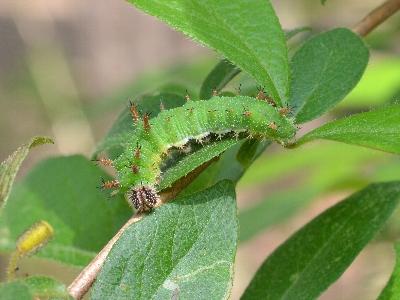 イチモンジチョウの幼虫