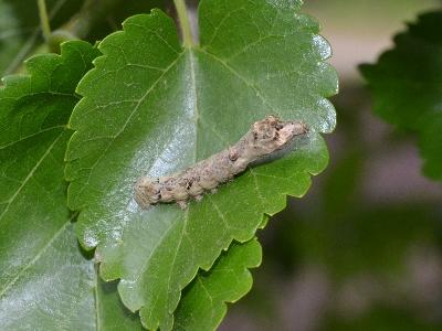 クワコの幼虫