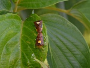 エサキモンキツノカメムシの交尾