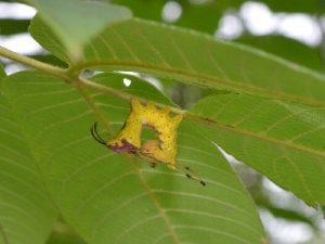 シロシャチホコの幼虫