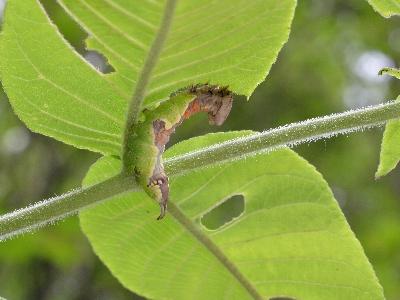 ムラサキシャチホコの幼虫