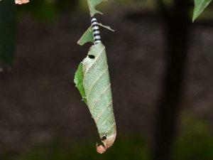 アオバセセリの幼虫2