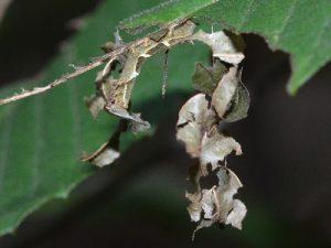 スミナガシの幼虫2
