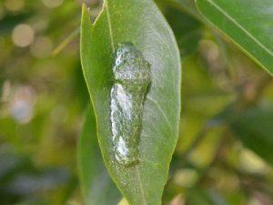 ナガサキアゲハの幼虫