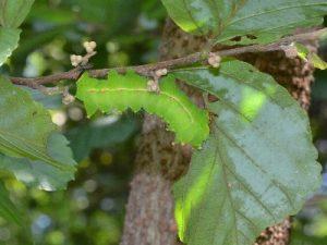 オオミズアオの幼虫(マンサク)