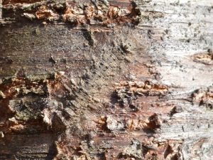 カレハガの越冬幼虫2
