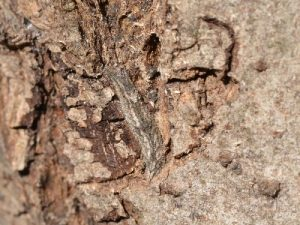 コムラサキの越冬幼虫