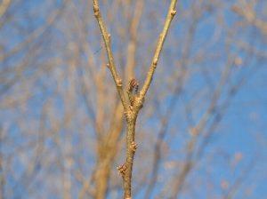 ヒメカギバアオシャクの幼虫