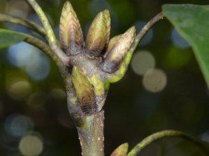 カギバアオシャクの越冬幼虫