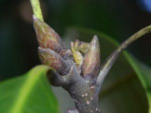 カギバアオシャクの越冬幼虫2