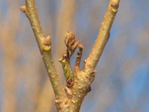 ヒメカキバアオシャクの幼虫UP