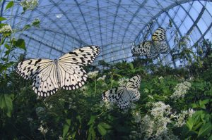 日本最大のチョウ オオゴマダラ