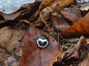 アカスジキンカメムシ越冬幼虫