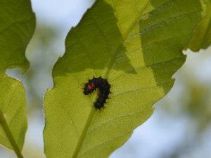 ヒメヤママユの1令幼虫