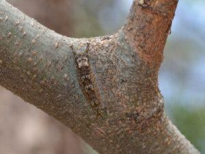 オオムラサキの幼虫3