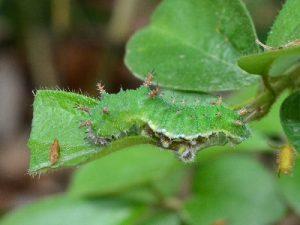 イチモンジチョウの幼虫2