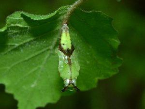 イチモンジチョウの蛹