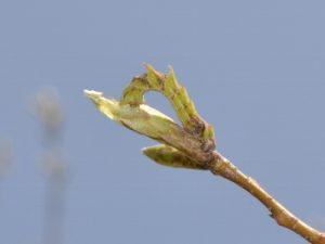 カギバアオシャクの幼虫