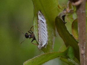 オオミドリシジミの幼虫