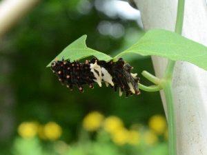 ジャコウアゲハの幼虫2