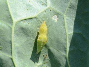 モンシロチョウの蛹2