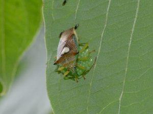 エサキモンキツノカメムシ 卵を守る