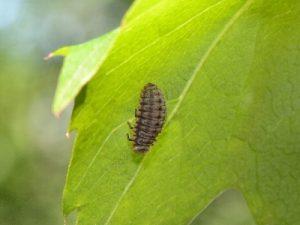 テントウムシ一種の幼虫