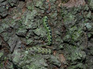 ウスミミモンキリガの幼虫2