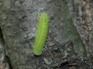 ミドリシジミの幼虫