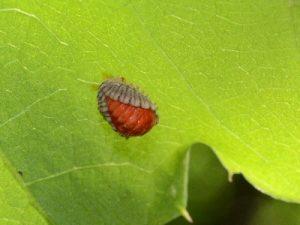 テントウムシ一種の蛹